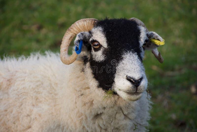 Kopf von schwarzen gegenübergestellten Schafen, Gras essend lizenzfreie stockbilder