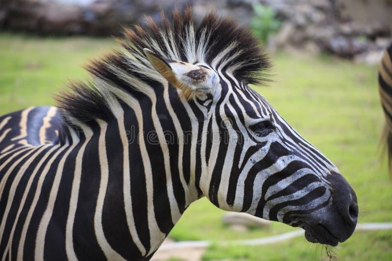 Kopf von Zebra stockbild