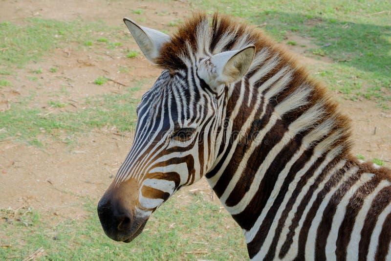 Kopf von Zebra stockfoto