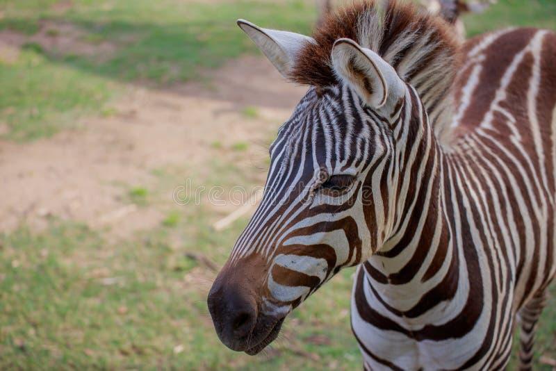 Kopf von Zebra lizenzfreies stockfoto