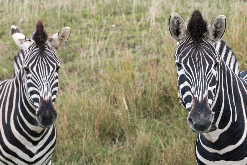Kopf von zwei streifte die Zebras, fotografiert am Hafen Lympne Safari Park, Ashford, Kent Großbritannien stockfotos