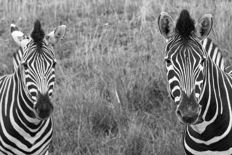 Kopf von zwei streifte die Zebras, die zur Kamera betrachten, fotografiert im Monochrom Hafen Lympne Safari Park, Ashford, Kent G stockbild