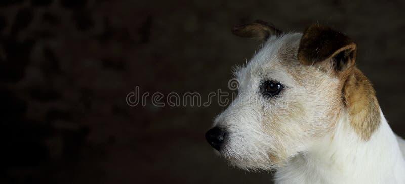 Kopf weißen und braunen Jack Russell-Hundes mit Kopienraum lizenzfreie stockfotos
