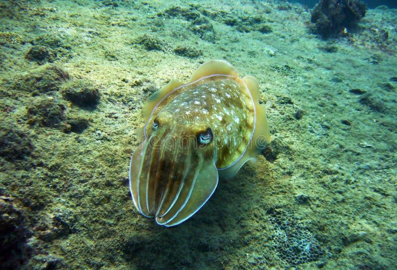Kopffüßer auf dem Meeresgrund lizenzfreies stockbild