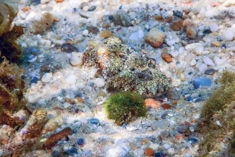 Kopffüßertarnung Kopffüßer, die unter Wasser schwimmen stockfotografie