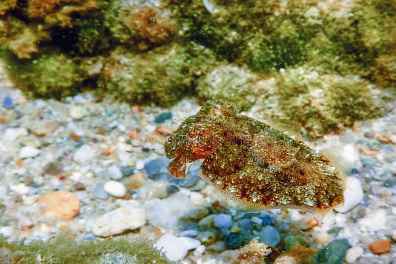 Kopffüßertarnung Kopffüßer, die unter Wasser schwimmen lizenzfreies stockbild