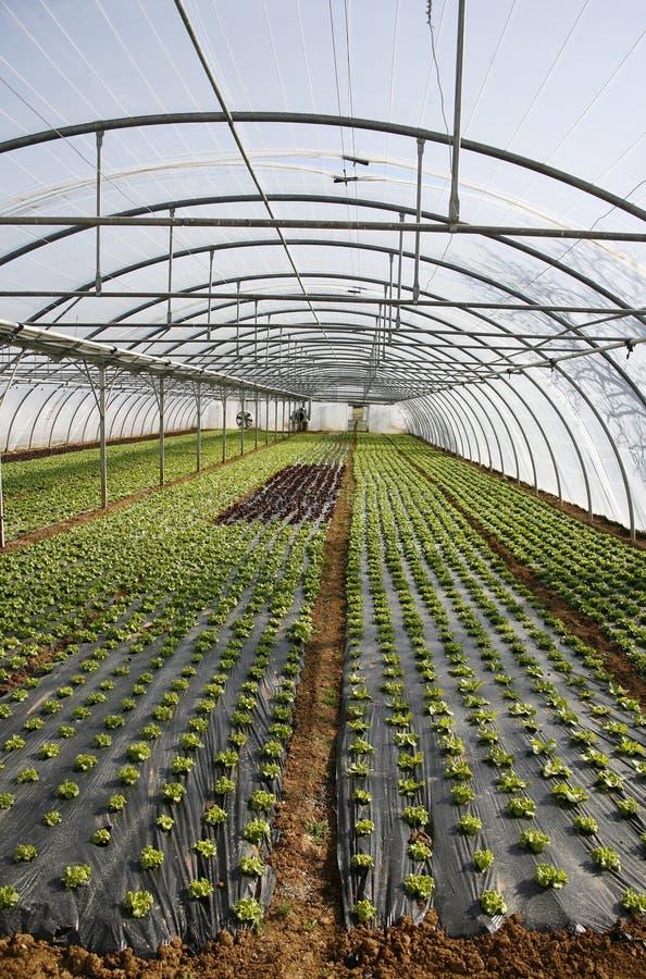 Kopfsalat, der in den Zeilen wächst stockbilder
