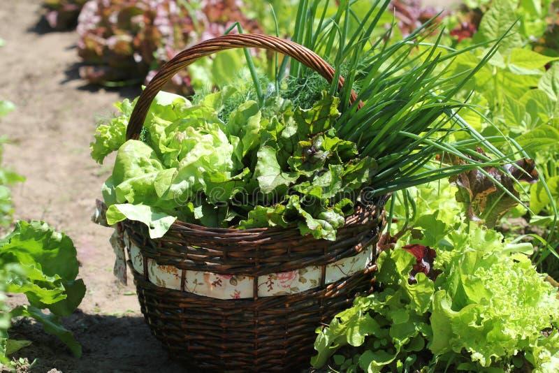 Kopfsalat in einem Korb gesetzt nahe einem Gemüseflecken stockbild