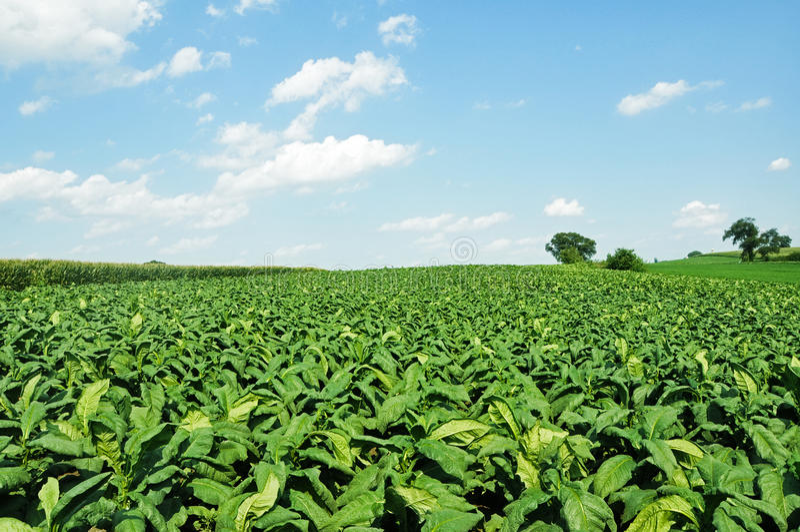 Kopfsalat-Feld stockfotografie
