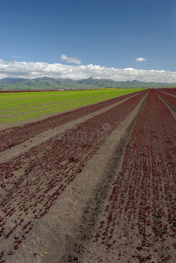 Kopfsalat-Feld-Landschaft: Rote Vertikale stockfotos