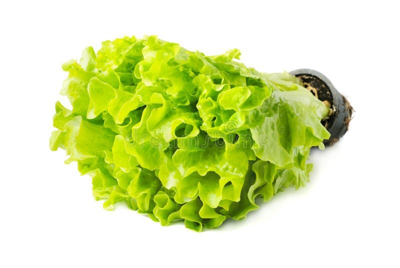 Kopfsalat mit einem Topf stockfotografie