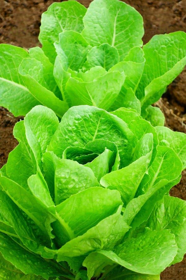 Kopfsalat-Salat-Boden frisch lizenzfreie stockfotografie