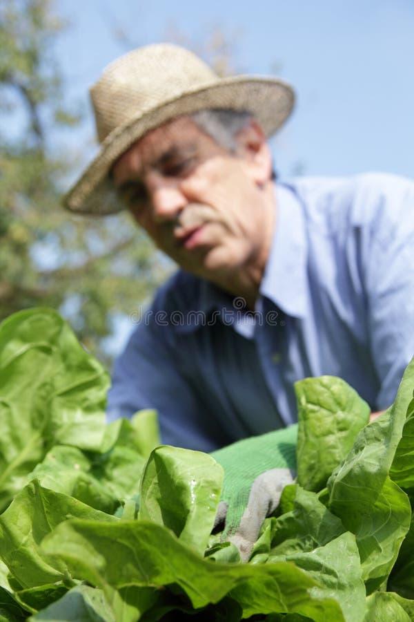 Kopfsalat und Gärtner lizenzfreie stockfotografie