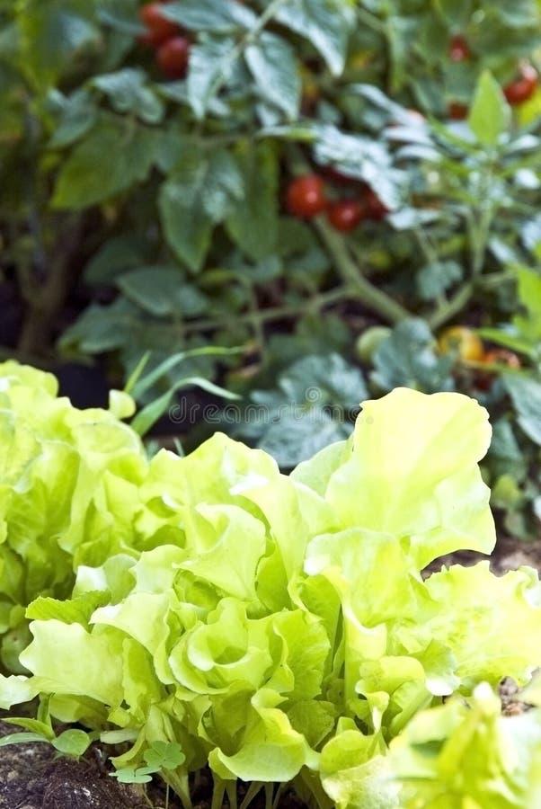 Kopfsalat und Tomaten/Garten lizenzfreie stockbilder