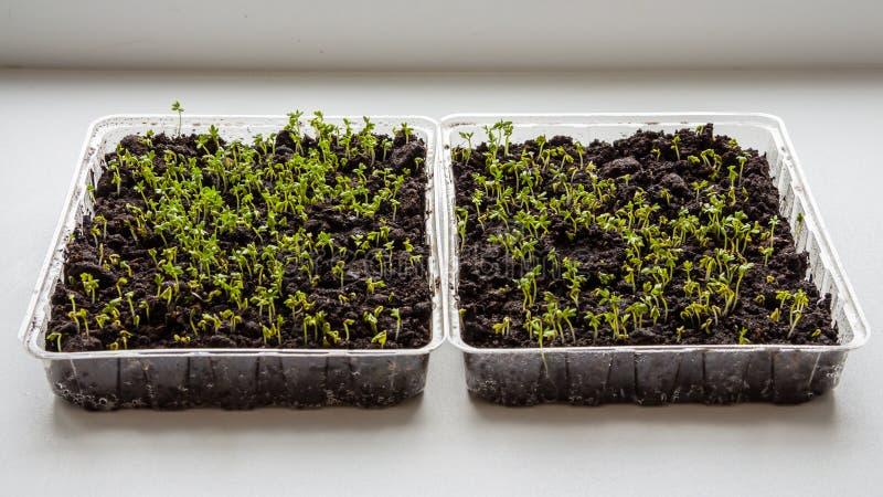 Kopfsalatspr?sslinge wachsen zuhause auf dem Fensterbrettbild stockbilder