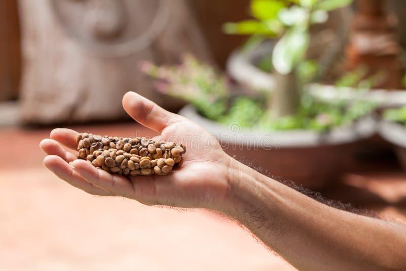 Kopi luwak ή καφές μοσχογαλών, φασόλια καφέ που εκκρίνονται από τη μοσχογαλή σε διαθεσιμότητα στοκ φωτογραφίες με δικαίωμα ελεύθερης χρήσης