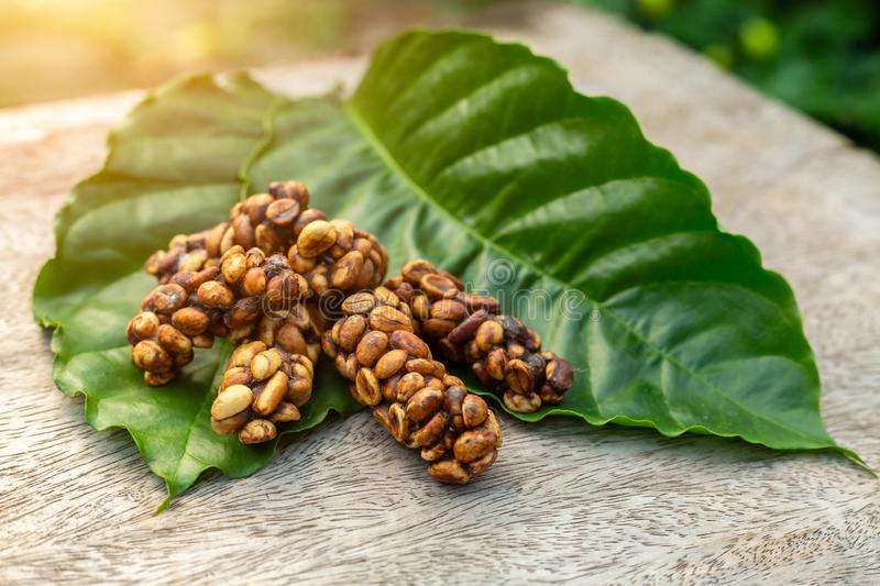 Kopi luwak or civet coffee on the coffee leaf, is one of the world`s most expensive and low-production varieties of coffee, Coffe. E beans excreted by the civet royalty free stock images