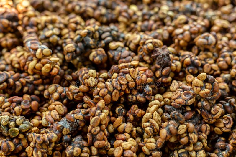 Kopi luwak or civet coffee, is one of the world`s most expensive and low-production varieties of coffee, Coffee beans excreted by royalty free stock photo