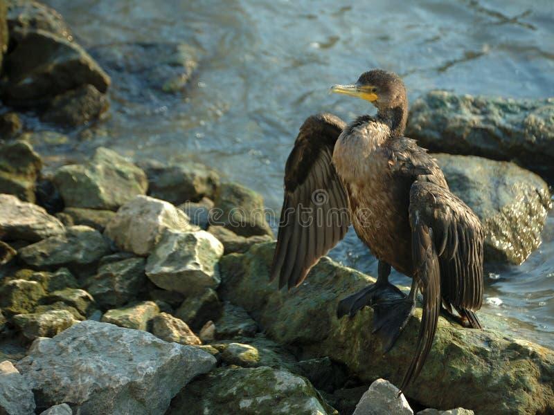 kopia czubata kormoranów obraz royalty free