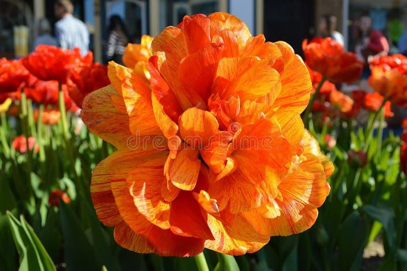 Kopia Różany tulipan, Zamyka Up fotografia stock