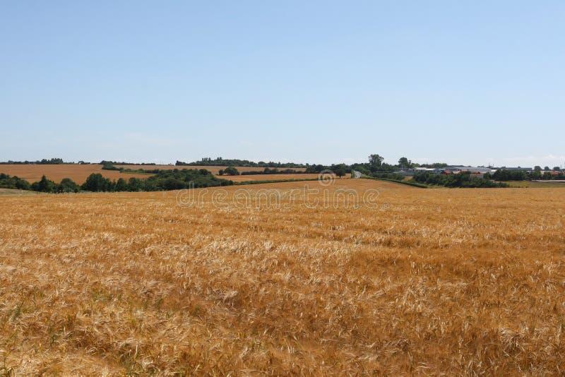 Download Kopiera Guld- Avstånd För Havrefältet Arkivfoto - Bild av odling, lantbruk: 997392
