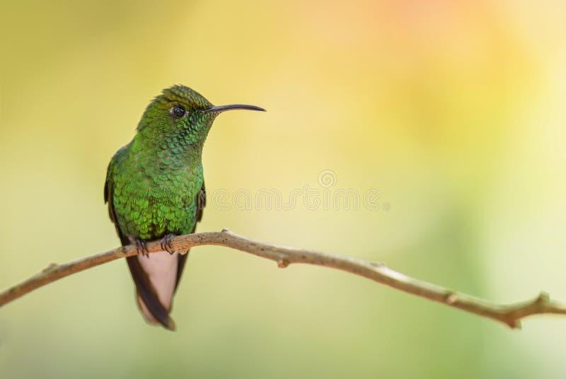 Kopparaktig-hövdad smaragd - Elvira cupreiceps royaltyfri fotografi