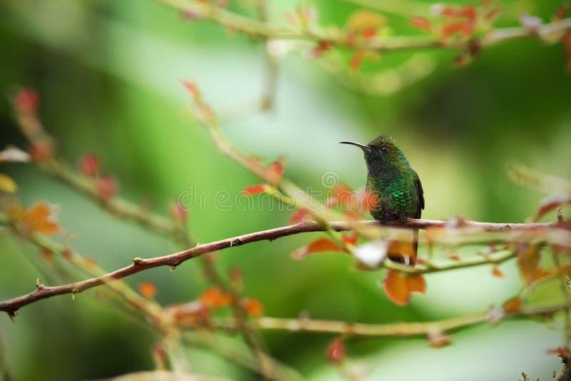 Kopparaktig-hövdat smaragdsammanträde på filialen, fågel från den tropiska skogen för berg, Costa Rica, fågel som sätta sig på fi arkivfoto