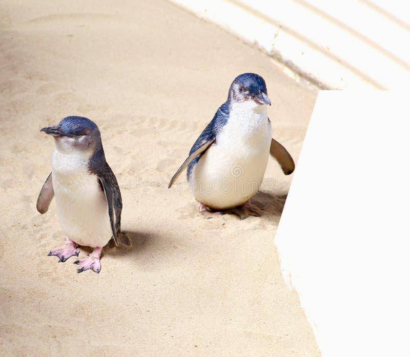 Koppel kleine blauwe pinguïnen, Australië royalty-vrije stock afbeeldingen