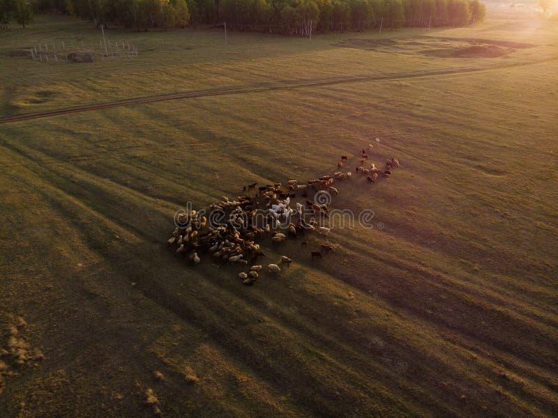 koppel schapengrazen in het bos royalty-vrije stock afbeeldingen
