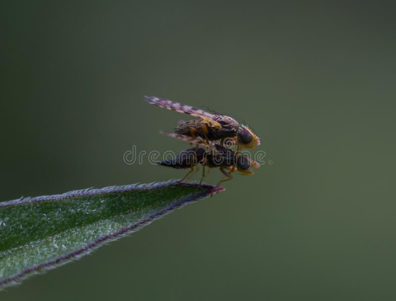 Koppelen de kleine insecten op een groen verlof royalty-vrije stock afbeelding