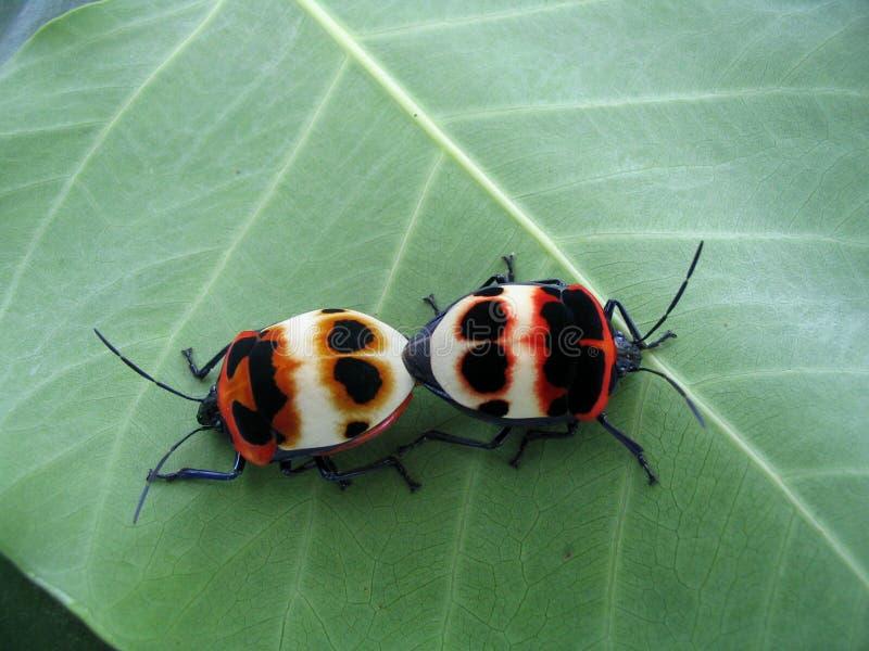 Koppelend insect royalty-vrije stock afbeeldingen
