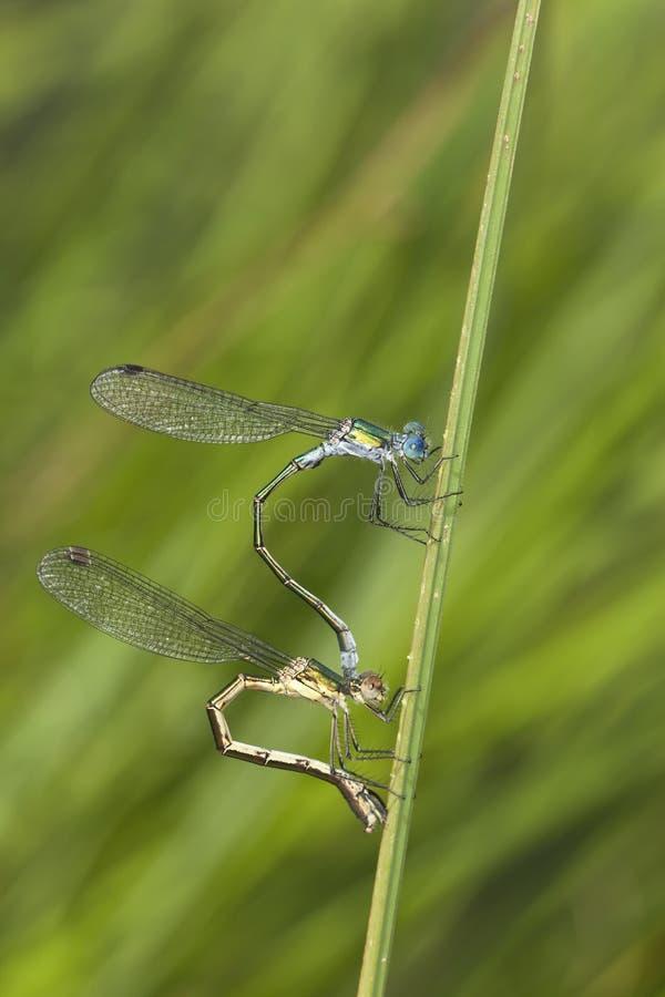 Koppelende azuurblauwe damselflies stock afbeeldingen