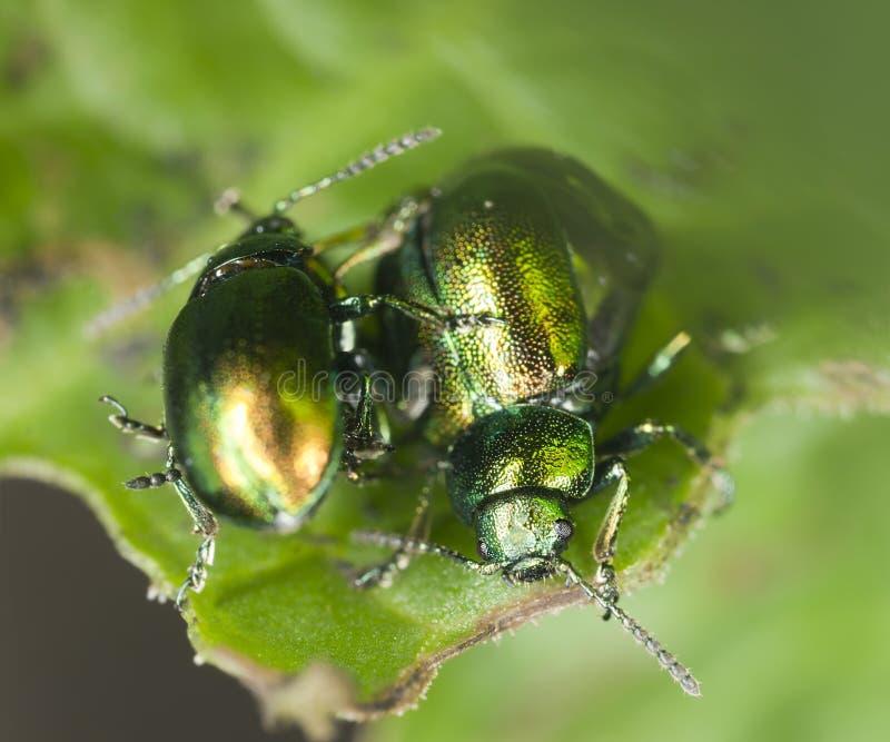Koppelende Groene dokkevers, viridula Gastrophysa stock foto's