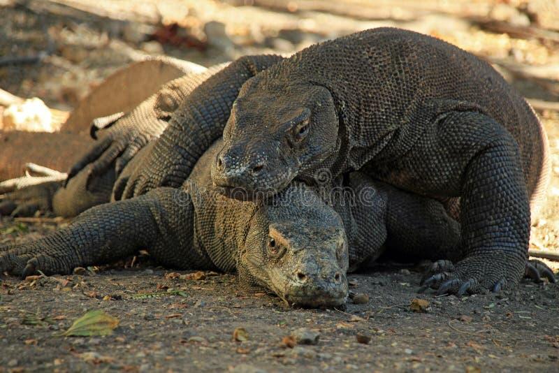 Koppelende Komodo-Draken stock foto's