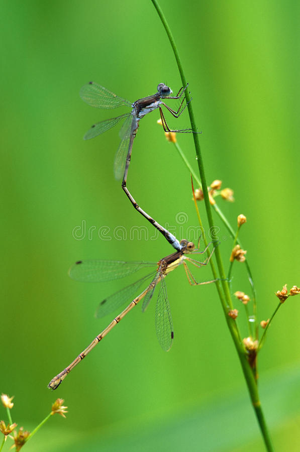 Koppelende Libellen stock foto's