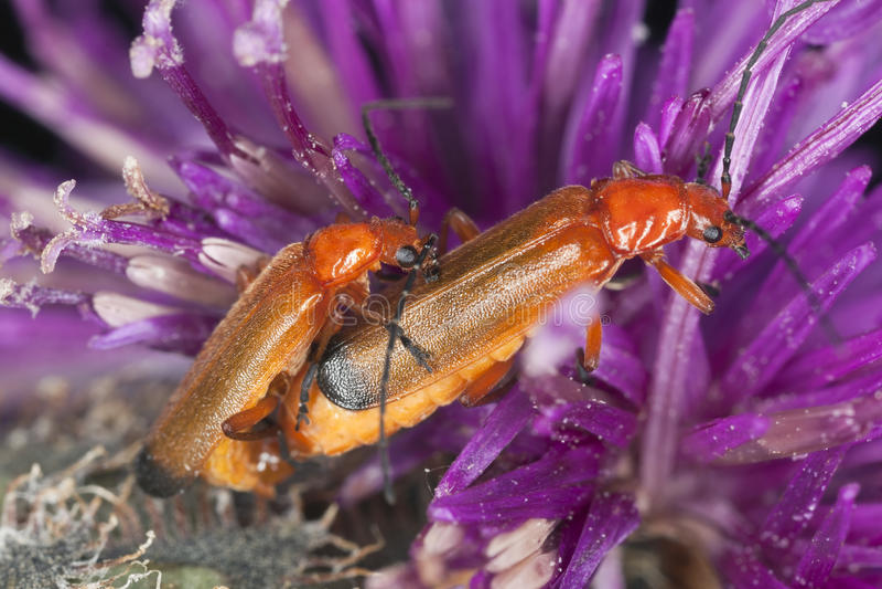 Koppelende militairkevers, fulva Rhagium royalty-vrije stock fotografie