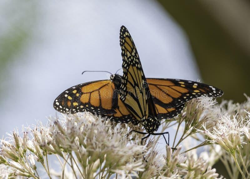 Koppelende Monarchen op Bush royalty-vrije stock afbeelding