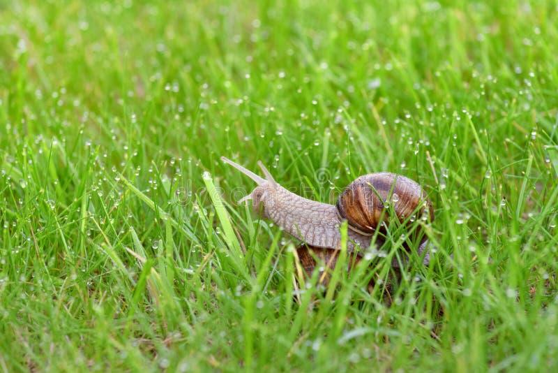 Koppelende slakken op een groen gras met dauwdalingen stock foto's
