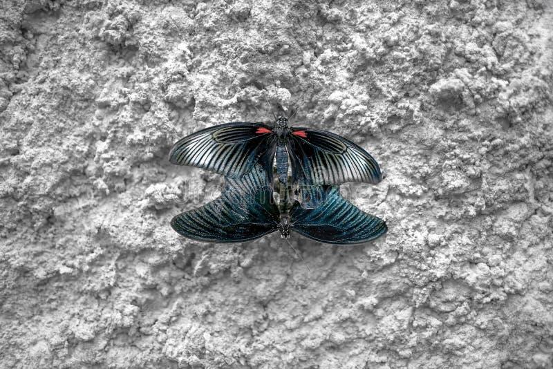 Koppelende vlinders Papilio polytes Mormoonse Vlinder royalty-vrije stock fotografie