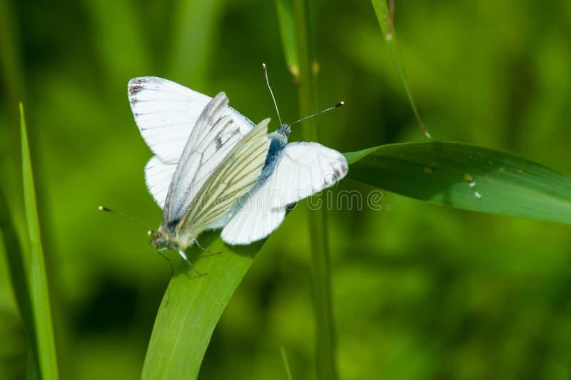 Koppelende Vlinders tegen een groene achtergrond royalty-vrije stock foto