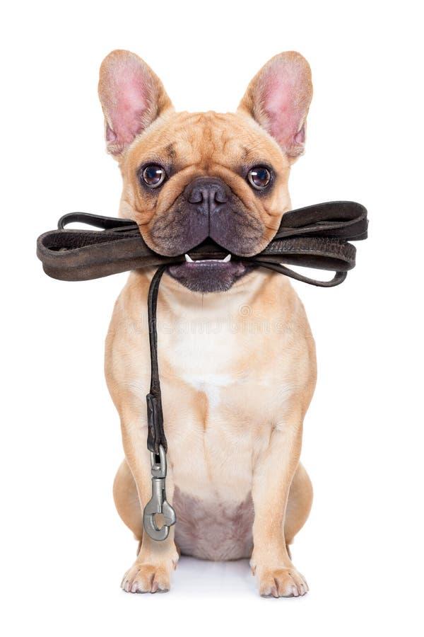 Koppelhund som är klar för en gå royaltyfri fotografi