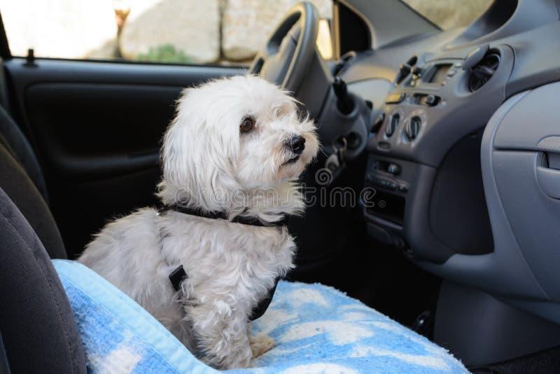 Koppelhund som passagerare arkivbild