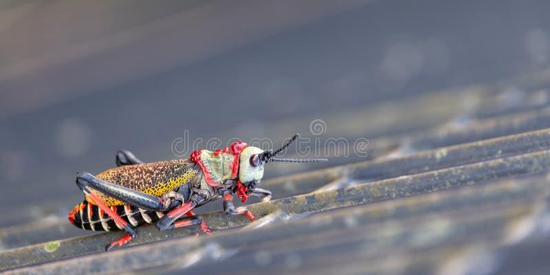 Koppie piany pasikonik Colourful pasikonik, szara?cza fotografuj?ca w Blyde Rzecznym jarze/, Po?udniowa Afryka obrazy stock