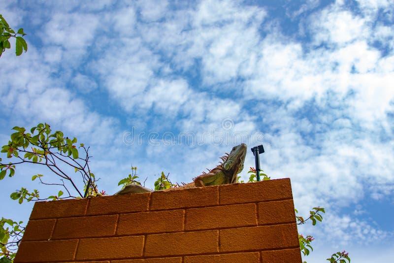 Koppig dierlijk Hagedis stock foto