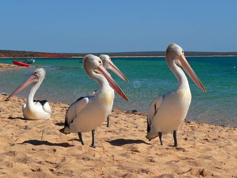 Koppig pelikaan stock afbeeldingen