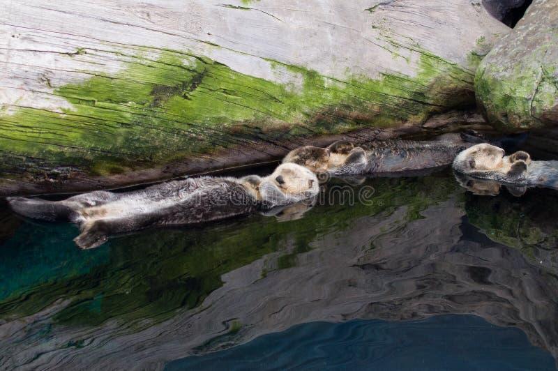 Koppla av för havsuttrar arkivfoto