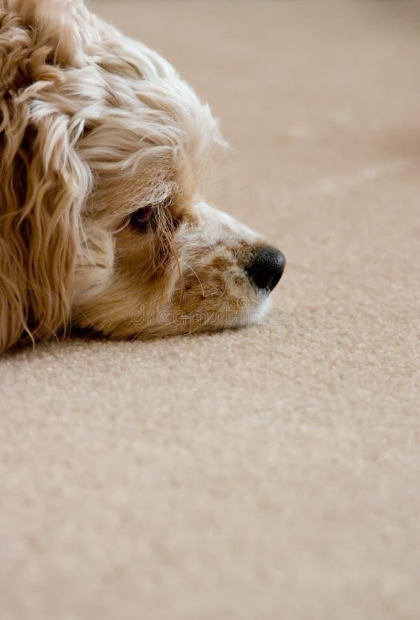koppla av för hund fotografering för bildbyråer