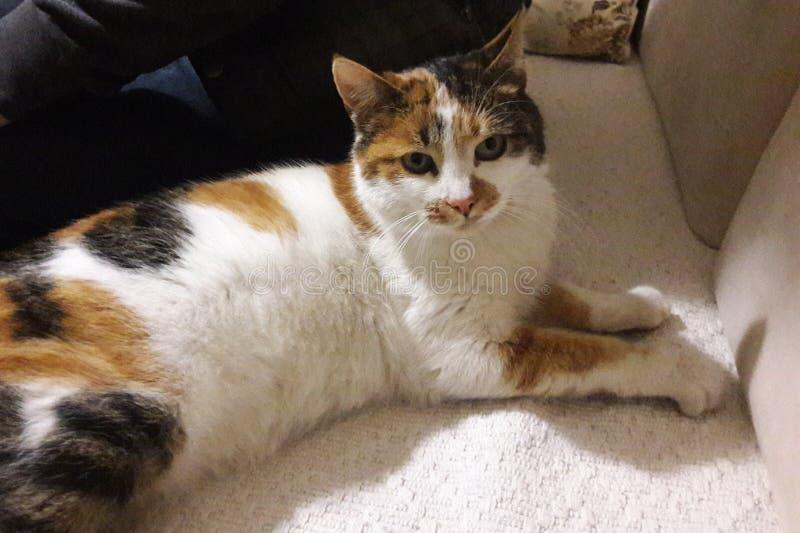 koppla av för katt royaltyfri fotografi