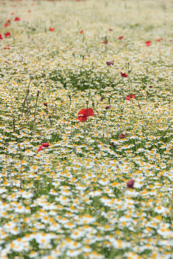 Koppla av naturen: vallmo i ett vitt hav av kamomillen blommar Vår: vallmo i ett fält med blommor Italien royaltyfria bilder