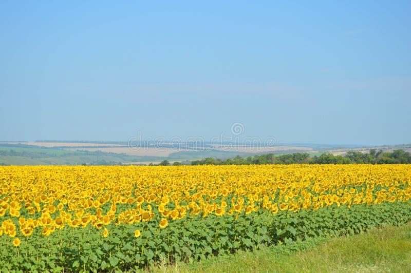 Koppla av sommarlandskap med ett fält fulled av solrosen arkivbilder